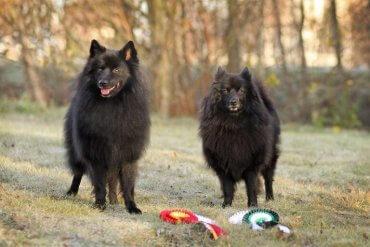 Lerne den Spitz kennen - tolle Hunde!