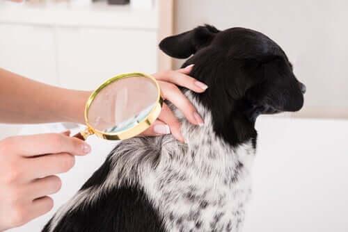 Behandlung von Hautentzündungen bei Hunden