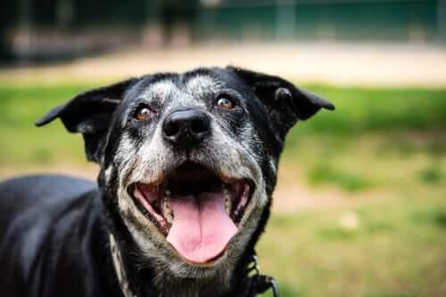 Älterer Hund lächelt in die Kamera