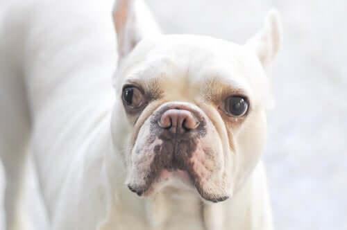Schielen kommt auch bei Hunden vor