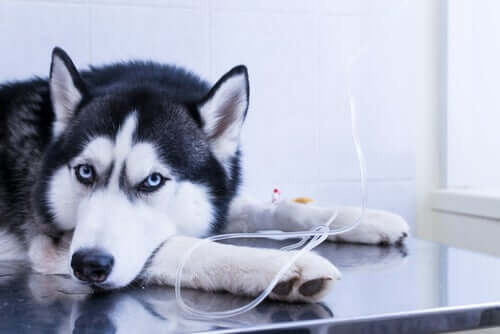 Husky beim Tierarzt