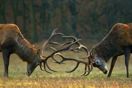 Kampf unter Hirschen