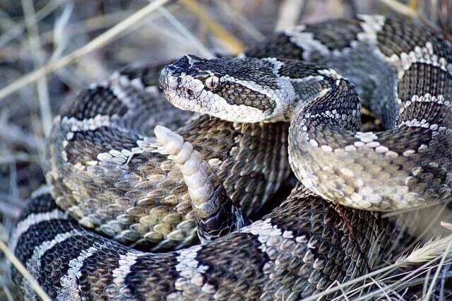 Klapperschlangen: giftige Tiere aus Nordamerika