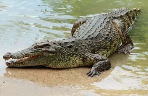 Krokodil liegt am Ufer