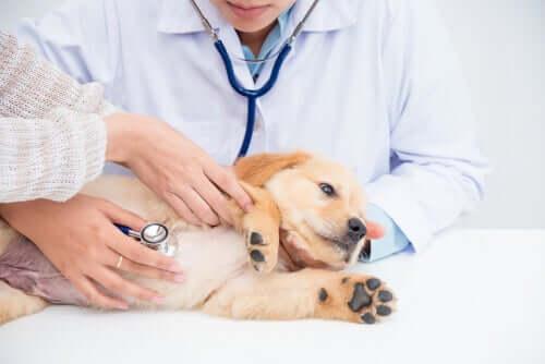Nierenerkrankungen bei Hunden