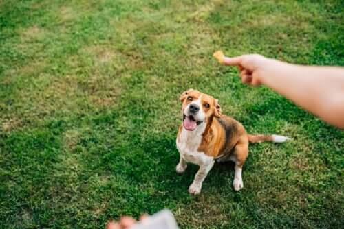 Viele Hunde leiden unter Übergewicht, Kurkuma kann helfen