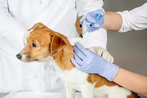 Tierarzt impft Fellnase