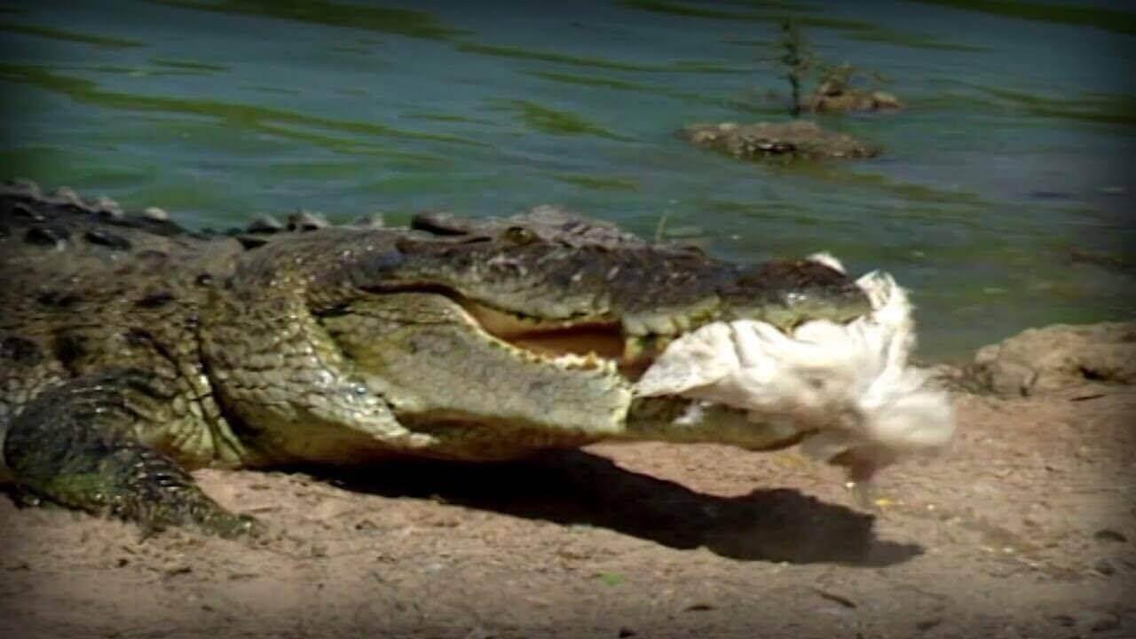 Es gibt Viren, die Krokodile und Vögel befallen