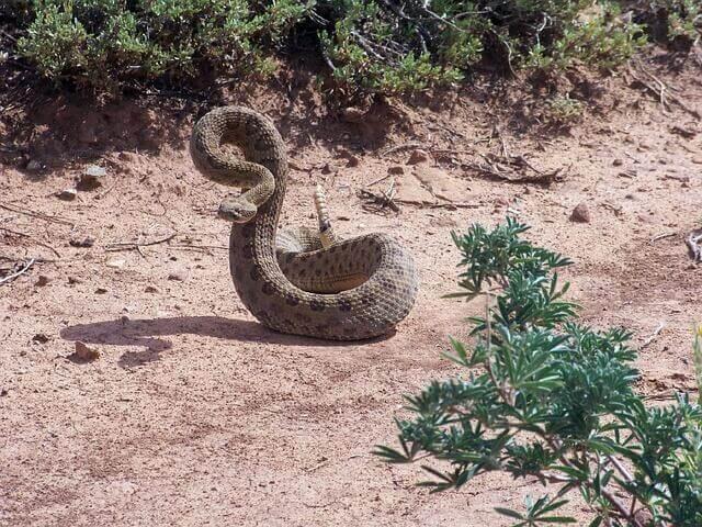 Vorsicht mit dem Biss von Klapperschlangen