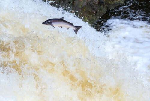 Wilder Lachs springt den Fluss hoch