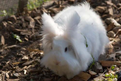 Viele lieben die Kaninchenrasse Angora