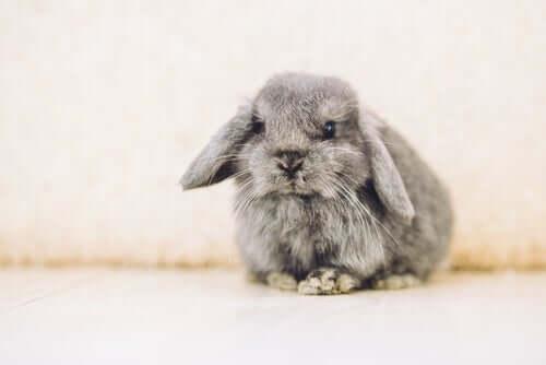 Belier-Kaninchen