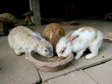 Fütterung eines Kaninchens: Wann und wie viel?