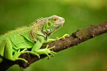Was fressen grüne Leguane?