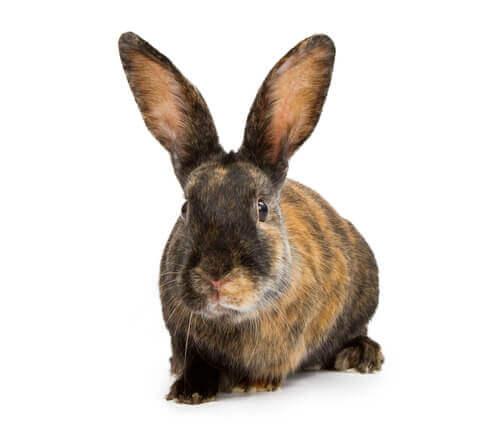 Japanisches Kaninchen