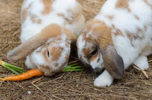 Kaninchen geniessen Karotte