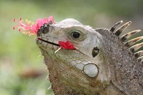 Leguan frisst Blume