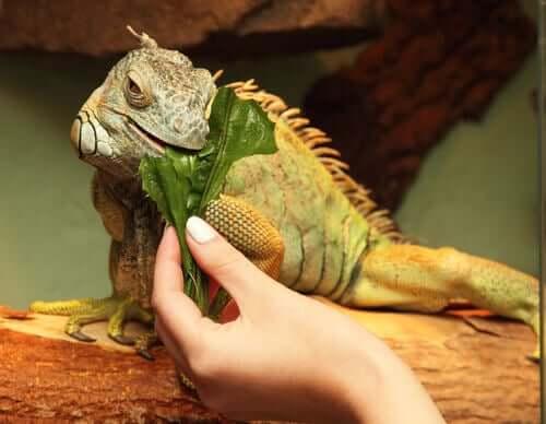 Leguan knabbert an Salatblatt