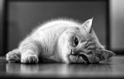 Leishmaniose bei Katzen: Gründe und Behandlungsmöglichkeiten