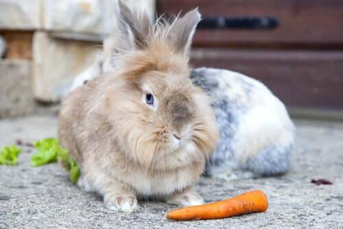 Das Löwenkopfkaninchen gehört zu den beliebten Kaninchenrassen