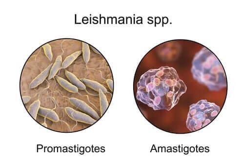 Mirkoskopische Bilder des Parasiten
