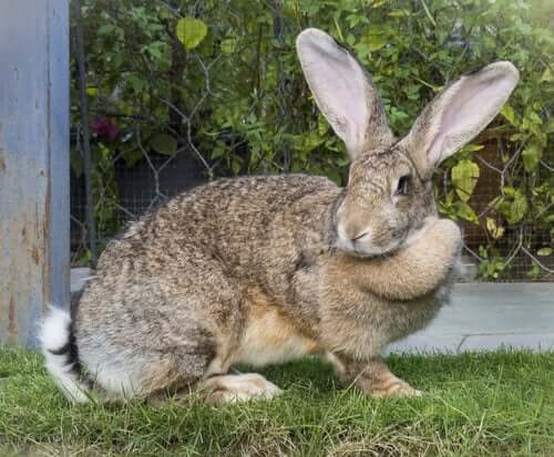 Riesenkaninchen, eine der größten Kaninchenrassen