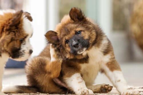 Teebaumöl für Hunde gegen Dermatitis