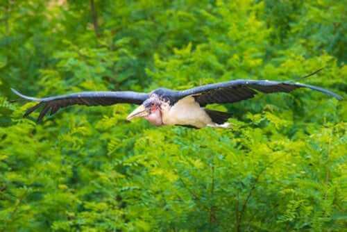 Afrikanischer Marabu im Flug