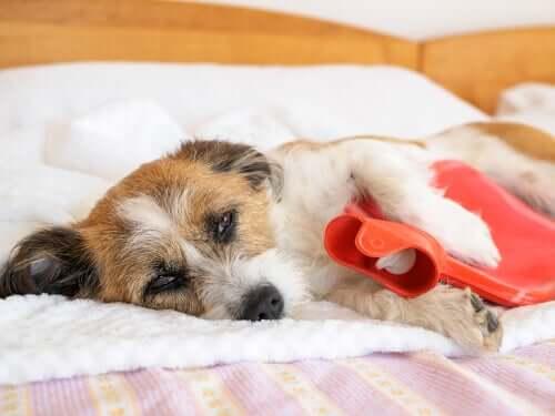 Bauchschmerzen bei Hunden: Anzeichen und Symptome