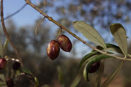 Eigenschaften von Olivenblättern als Antibiotikum für Hunde?