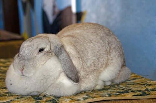 Fettleibigkeit bei Kaninchen: Symptome und Ursachen