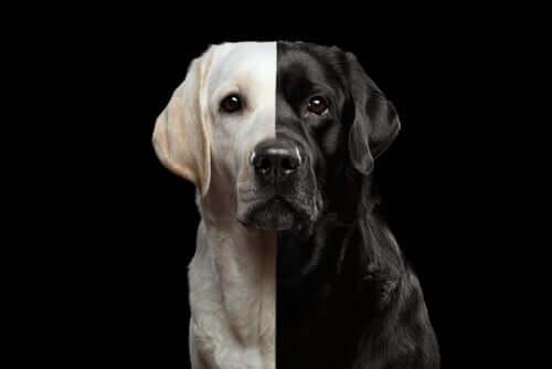 Geklonte Hunde, ein legales Geschäft?