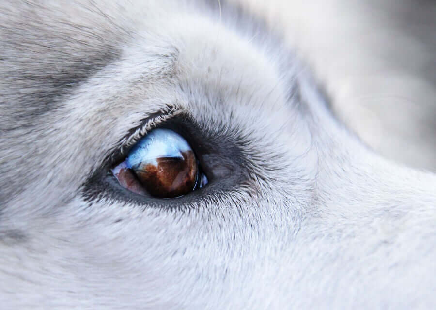 Behandlungen für Hunde, die Warzen um die Augen haben