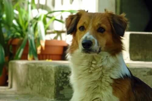 Hypopigmentation bei Hunden