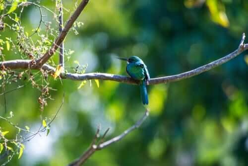 Jakamar: Eigenschaften und Lebensraum