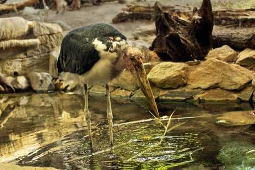 Marabu beim Fischen