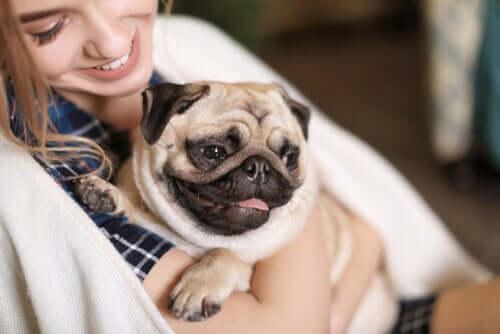 Der Mops gehört zu den geselligsten Hunderassen