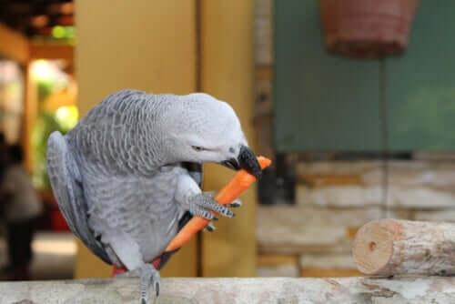 Papagei frisst gelbe Rübe