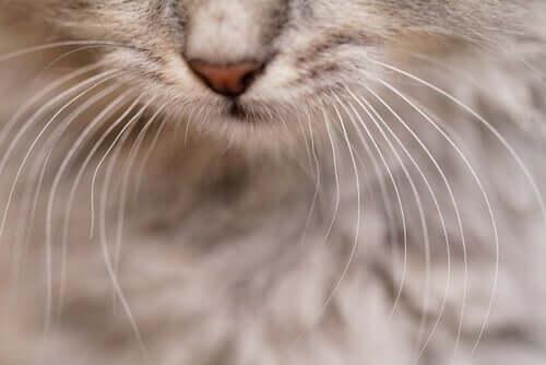 Schnurrhaare der Katze