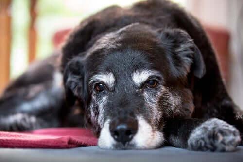 Ursachen für Muskelschwund bei Hunden