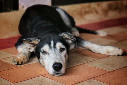 Alter Hund liegt auf dem Boden