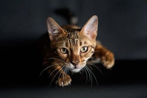 Warum haben Katzen Schnurrhaare an den Vorderpfoten?