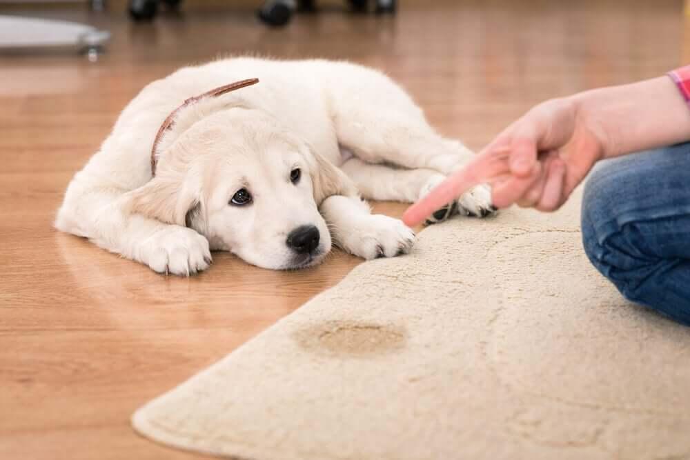 Welpe hat auf den Teppich gepinkelt