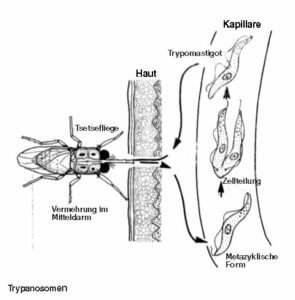 Einzeller-Parasiten-Trypanosoma