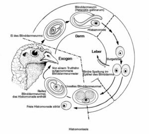 Einzeller-Parasiten - Übertragunszyklus
