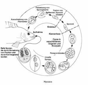 Einzeller-Parasiten beim Fisch