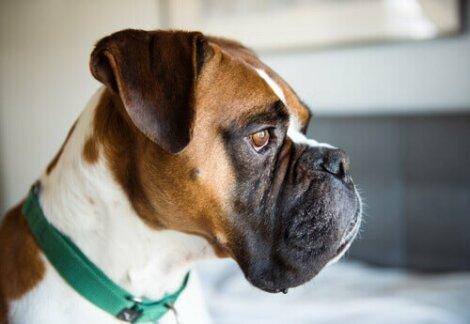 Boxer im Profil