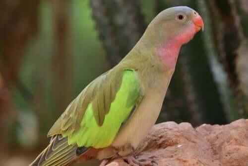 Der australische Alexandrasittich