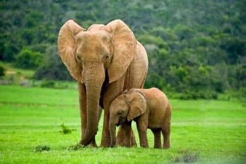 Die Elefanten leben in kleinen Gruppen