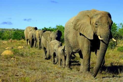 Die soziale Struktur der Elefanten